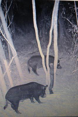 Hogs eating first night . Lasted 3 days.
