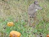 Deer eating pumpkins